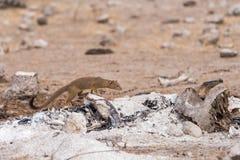 Slender Mongoose kill. Slender Mongoose Galerella sanguinea stands over burnt wood and bones, Botswana Stock Image