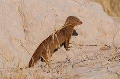 Slender mongoose is looking, etosha nationalpark, namibia. Galerella sanguinea Royalty Free Stock Images