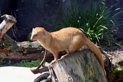 Slender mongoose. Photo of the Slender mongoose on the tree Stock Photography