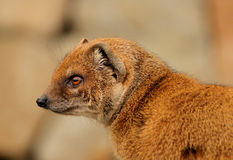 Slender mongoose portrait Stock Image