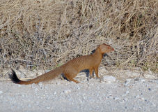 Slender Mongoose by the road Royalty Free Stock Image