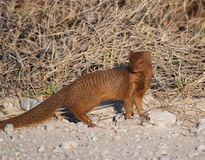 Slender Mongoose by the road Royalty Free Stock Photos