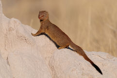 Slender mongoose sit on a termite hill Royalty Free Stock Image