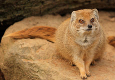Slender mongoose watching to you Stock Photography