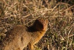 Slender Mongoose Royalty Free Stock Photos