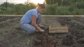 Slender peasant girl digs the ground harvesting potatoes and stacks potatoes in a wooden box. Slender peasant girl digs the ground harvesting potatoes and stock video