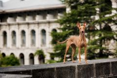 Slender pharaoh dog on the streets of Rome stock image