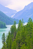 Slender pines on the shore of a mountain lake. Kucherlinskoe, Altai, Siberia, Russia Stock Images