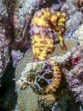Slender seahorse or longsnout seahorse ,Hippocampus reidi stock images