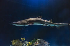 Slender shark with ominous lighting. Aquarium views of lively fish in a dark setting stock photography