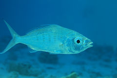 Slender silver-biddy fish. (Gerres oblongus) in shallow waters of the indian ocean Royalty Free Stock Photo