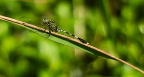 A slender skimmer dragonfly on a weeds stem royalty free stock photo