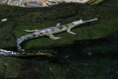 Slender-snouted crocodile in the water. Slender-snouted crocodile eat mostly fish Stock Image