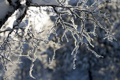 Slender snowy birch branches in sunshine. With blue-grey background stock photo