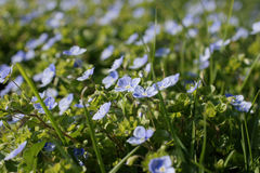 Slender speedwell Royalty Free Stock Photos