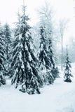 Slender spruce Royalty Free Stock Photo
