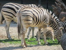 Slender striped black and white zebra walking in the zoo in Erfurt. Slender striped black and white zebra walking in the zoo Stock Photo