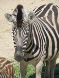 Slender striped black and white zebra walking in the zoo in Erfurt. Slender striped black and white zebra walking in the zoo Stock Photography