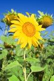 Slender sunflower Stock Image