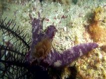 Slender T-bar nudibranch Ceratosoma gracillimum nudibranch from stock footage