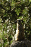 Slender Tailed Meerkat Stock Images