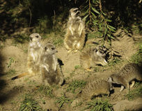 Slender Tailed Meerkat Royalty Free Stock Photography