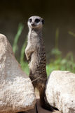Slender-tailed Meerkat Royalty Free Stock Image