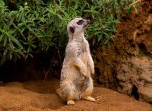 Slender-tailed meerkat Stock Image
