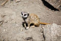 Slender-tailed meerkat. Royalty Free Stock Photos