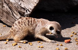 Slender Tailed Meerkat Stock Images