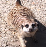Slender Tailed Meerkat Royalty Free Stock Photo