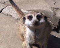 Slender Tailed Meerkat Stock Image