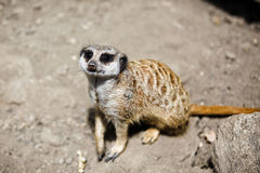 Slender-tailed meerkat. Stock Image