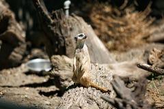 Slender-tailed meerkat. Stock Photo
