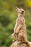 Slender-tailed meerkat sitting on rock looking up Royalty Free Stock Photo
