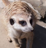Slender Tailed Meerkat Stock Photography