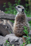Slender-tailed meerkat standing on a rock Stock Photos