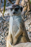 Slender tailed meerkat standing tall on rocky ground close up Stock Photos