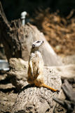 Slender-tailed meerkat. Royalty Free Stock Photography