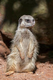 Slender-tailed Meerkat Stock Photos