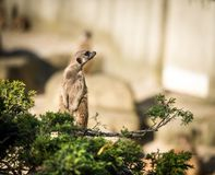 Slender tailed Meerkats Royalty Free Stock Photography