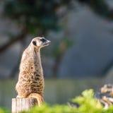 Slender tailed Meerkats Stock Image