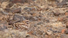 Slender-tailed Nightjar on the ground Royalty Free Stock Photography