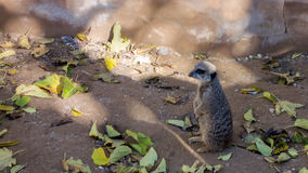 Slender Tailed Scout Meerkat Stock Photos