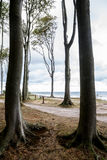 Slender tall beech trees at the seaside, vertica Stock Photo