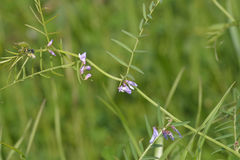 Slender Tare or Vetch Stock Photography