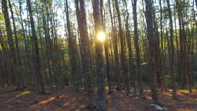 Slender tree trunks in thick forest with sunflare. Tree trunks in forest with sunflare stock video