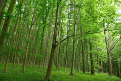 Slender trees in young forest green in summer Royalty Free Stock Images