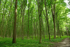 Slender trees in young forest green in summer.  Stock Photography
