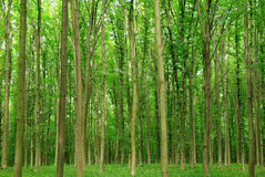 Slender trees in young forest green in summer. Stock Image